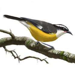 Bananaquit Body Illustration