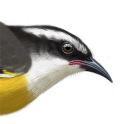 Bananaquit Head Illustration