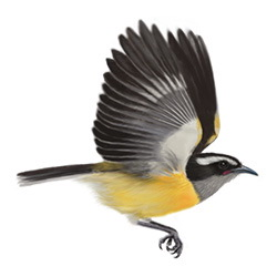 Bananaquit Flight Illustration