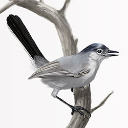 Black-tailed Gnatcatcher Body Illustration