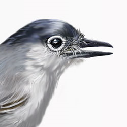 Black-tailed Gnatcatcher Head Illustration