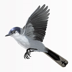Black-tailed Gnatcatcher Flight Illustration