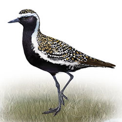 European Golden-Plover Body Illustration