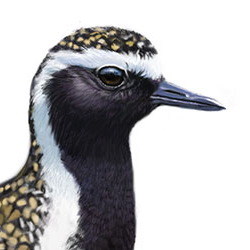 European Golden-Plover Head Illustration