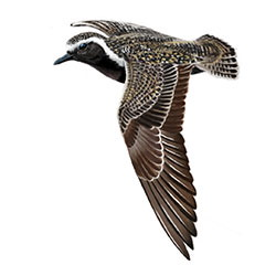 European Golden-Plover Flight Illustration