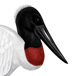 Jabiru Head Illustration