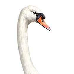 Mute Swan Head Illustration.jpg