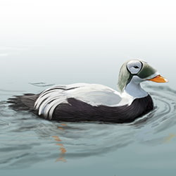 Spectacled Eider Body Illustration