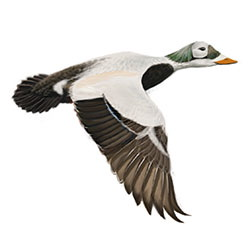 Spectacled Eider Flight Illustration