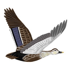 Eastern Spot-billed Duck Flight Illustration