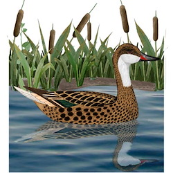 White-cheeked Pintail Body Illustration
