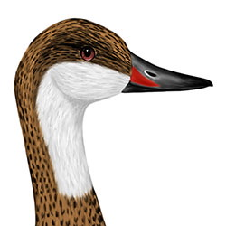 White-cheeked Pintail Head Illustration