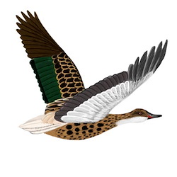 White-cheeked Pintail Flight Illustration