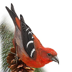 White-winged Crossbill Body Illustration