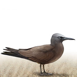Brown Noddy Body Illustration