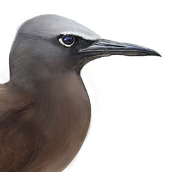 Brown Noddy Head Illustration