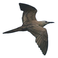 Brown Noddy Flight Illustration