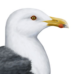 Great Black-backed Gull Head Illustration.jpg