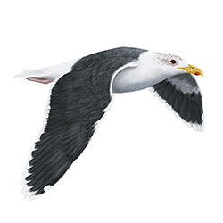 Great Black-backed Gull Flight Illustration.jpg