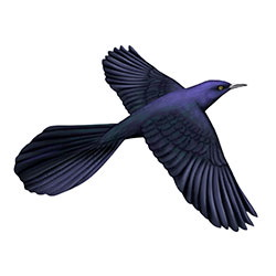 Great-tailed Grackle Flight Illustration