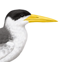 Large-billed Tern Head Illustration
