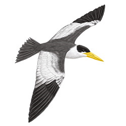 Large-billed Tern Flight Illustration