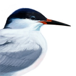 Roseate Tern Head Illustration