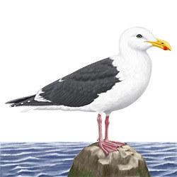 Slaty-backed Gull Body Illustration
