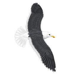 Slaty-backed Gull Flight Illustration