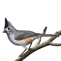 Black crested titmouse identify whatbird black crested titmouse body illustrationg sciox Images