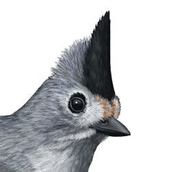 Black crested titmouse identify whatbird black crested titmouse head illustrationg sciox Images