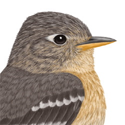 Buff-breasted Flycatcher Head Illustration
