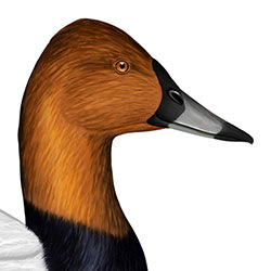 Common Pochard Head Illustration