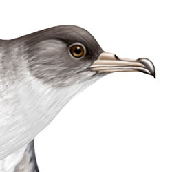 Cory's Shearwater Head Illustration