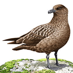 Great Skua Body Illustration