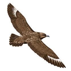 Great Skua Flight Illustration