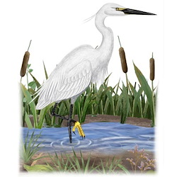 Little Egret Body Illustration