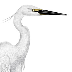 Little Egret Head Illustration