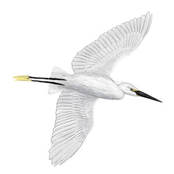 Little Egret Flight Illustration