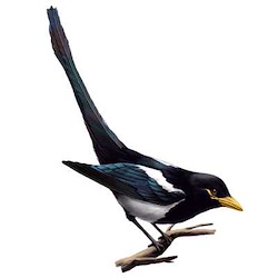Yellow-billed Magpie Body Illustration
