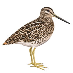 Pin-tailed Snipe Body Illustration