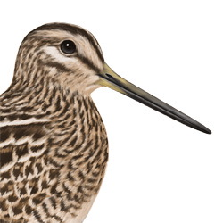 Pin-tailed Snipe Head Illustration