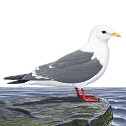 Red-legged Kittiwake Body Illustration