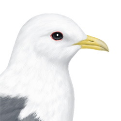 Red-legged Kittiwake Head Illustration