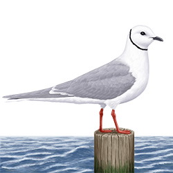 Ross's Gull Body Illustration