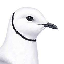 Ross's Gull Head Illustration