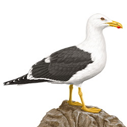 Yellow-footed Gull Body Illustration