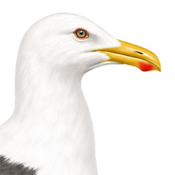 Yellow-footed Gull Head Illustration