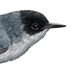 Black-capped Gnatcatcher Head Illustration.jpg
