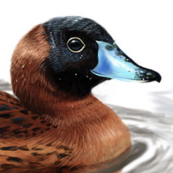 Masked Duck Head Illustration